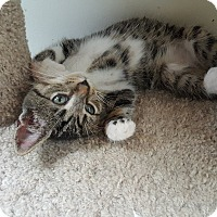 Domestic Shorthair Kitten for adoption in Smithfield, North Carolina - Bashful