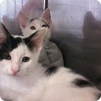 Domestic Mediumhair Kitten for adoption in Kinston, North Carolina - Willow's Wee Ones!