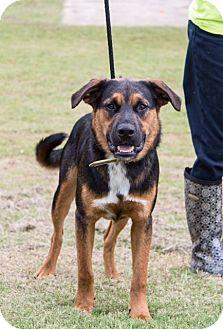 Shepherd (Unknown Type)/Shepherd (Unknown Type) Mix Dog for adoption in Waterbury, Connecticut - Carl