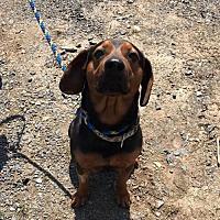 Adopt A Pet :: Dobie - Stroudsburg, PA