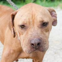 American Staffordshire Terrier Mix Dog for adoption in Hattiesburg, Mississippi - Layla