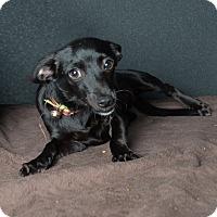 Adopt A Pet :: Mia - Van Nuys, CA