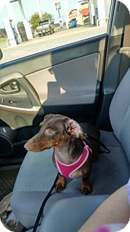 Dachshund Dog for adoption in Pearland, Texas - Penny