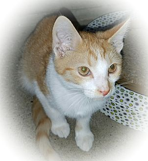 Domestic Shorthair Kitten for adoption in Greensburg, Pennsylvania - Bono