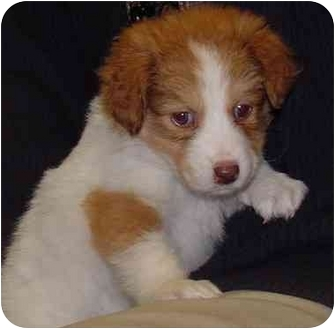 Australian Shepherd Mix Puppy for adoption in Brenham, Texas - Eva