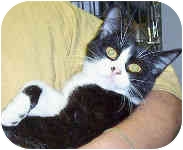 Domestic Shorthair Cat for adoption in Murphysboro, Illinois - Moxie