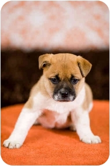 Shar Pei/Boxer Mix Puppy for adoption in Portland, Oregon - Chung