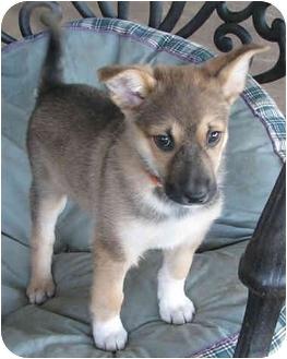 German Shepherd Dog/German Shorthaired Pointer Mix Puppy for adoption in Poway, California - Tookie