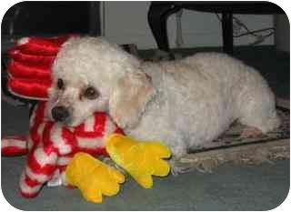 Miniature Poodle Mix Dog for adoption in Melbourne, Florida - DICKENS