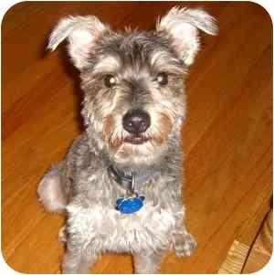 Schnauzer (Miniature) Dog for adoption in Redondo Beach, California - Wolf