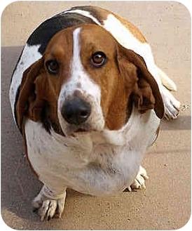 Basset Hound Dog for adoption in Phoenix, Arizona - Addy