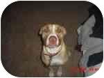 American Pit Bull Terrier/American Pit Bull Terrier Mix Dog for adoption in Sacramento, California - Yojie;BIG LOVE