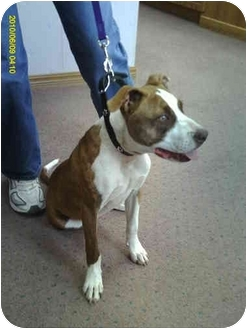 American Pit Bull Terrier/American Pit Bull Terrier Mix Puppy for adoption in Broomfield, Colorado - Majesty