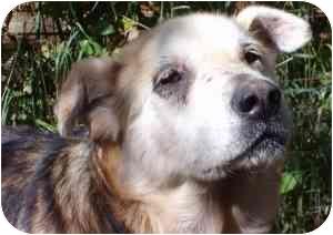 Shepherd (Unknown Type) Mix Dog for adoption in Okotoks, Alberta - Felix