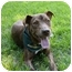Photo 4 - Dutch Shepherd/Labrador Retriever Mix Dog for adoption in Mocksville, North Carolina - Lyndsey