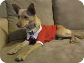 Shiba Inu/Chihuahua Mix Dog for adoption in Sedona, Arizona - Dolche