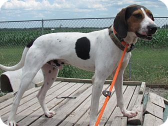Coonhound/English (Redtick) Coonhound Mix Dog for adoption in Grinnell, Iowa - Boon