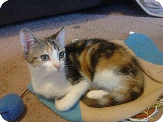 Calico Kitten for adoption in Byron Center, Michigan - Morning Glory