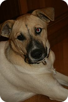 Anatolian Shepherd/Husky Mix Dog for adoption in Hagerstown, Maryland - Uno Blue