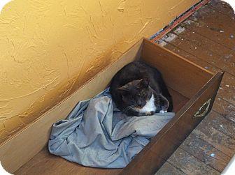 Domestic Shorthair Cat for adoption in East McKeesport, Pennsylvania - Luna