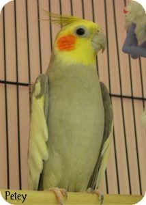 Cockatiel for adoption in Warren, Pennsylvania - Petey