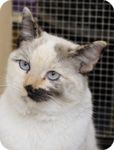 Calico Cat for adoption in Medford, Massachusetts - Fay