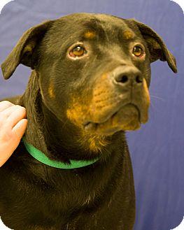 Rottweiler Mix Dog for adoption in Martinsville, Indiana - Maximus Ursa