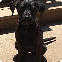 Adopt A Pet :: Missy - 3 mo - Marlton, NJ