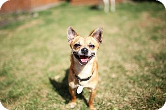 Chihuahua Mix Dog for adoption in Edmonton, Alberta - Poncho