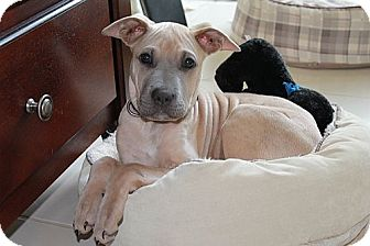 American Staffordshire Terrier/Shar Pei Mix Puppy for adoption in Staunton, Virginia - Honda
