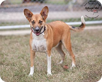 Basenji Mix Dog for adoption in Hickory Creek, Texas - Buttons