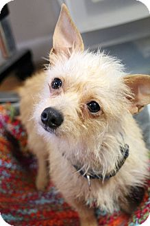 Terrier (Unknown Type, Small) Mix Dog for adoption in Knoxville, Tennessee - Trixie