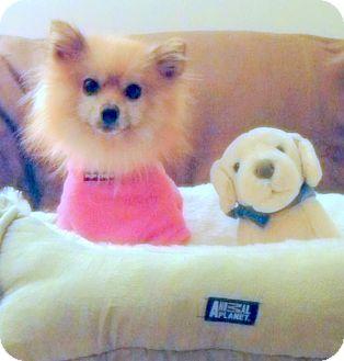 Pomeranian Mix Dog for adoption in Ledyard, Connecticut - Lobo
