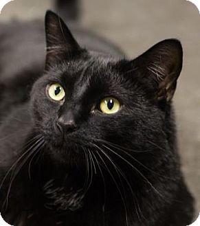 Domestic Shorthair Cat for adoption in Lowell, Massachusetts - Binx