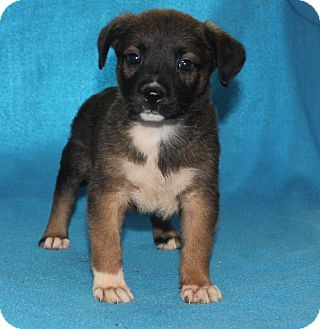 Boxer/German Shepherd Dog Mix Puppy for adoption in Colonial Heights, Virginia - Jimi