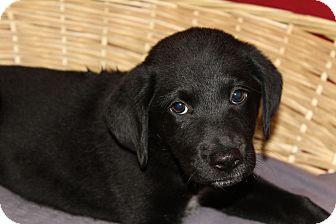 Labrador Retriever Mix Puppy for adoption in Waldorf, Maryland - Vicki