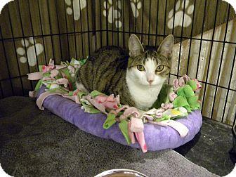 Domestic Shorthair Kitten for adoption in Bartlett, Illinois - Judy