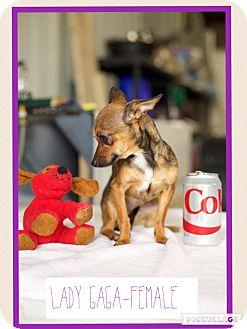 Chihuahua Dog for adoption in Washington, D.C. - Lady Gaga (Pom-js)