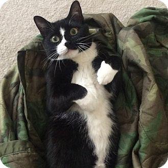 Domestic Shorthair Cat for adoption in Gettysburg, Pennsylvania - Poochie