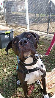 American Pit Bull Terrier/Labrador Retriever Mix Dog for adoption in Hawthorne, California - Hugo