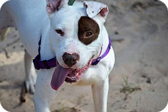 Pit Bull Terrier Mix Dog for adoption in Tomball, Texas - Wiggles
