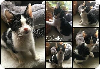 Domestic Shorthair Kitten for adoption in Joliet, Illinois - Wheatley