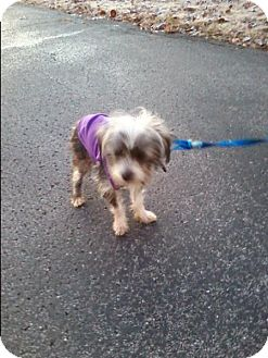 Chinese Crested/Yorkie, Yorkshire Terrier Mix Dog for adoption in Washington, D.C. - Skye