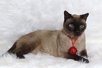 Siamese Cat for adoption in Kerrville, Texas - Santiago