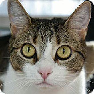 Domestic Shorthair Cat for adoption in San Antonio, Texas - Opal