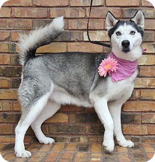 Husky Mix Dog for adoption in Benbrook, Texas - Daisy