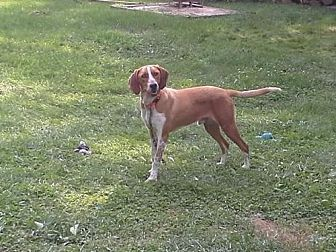 Hound (Unknown Type) Dog for adoption in Gerrardstown, West Virginia - Red