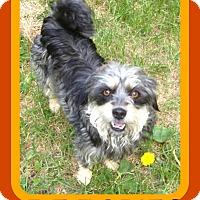 Tibetan Terrier/Schnauzer (Standard) Mix Dog for adoption in Manchester, New Hampshire - PEACHES