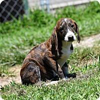 Adopt A Pet :: Brinley - South Dennis, MA