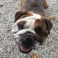 Adopt A Pet :: Gordo - Santa Ana, CA